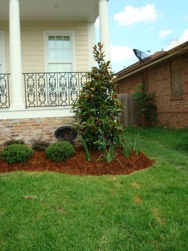 Variegated Ginger Little Gem Magnolia Tree ... - Bayou Gardens Landscaping - Home